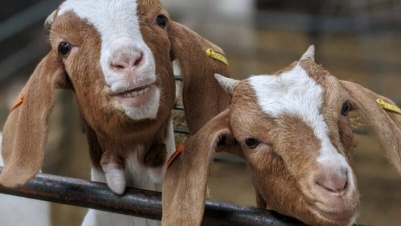 AIP to include Livestock beneficiaries